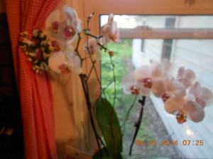 Orchids in my kitchen.