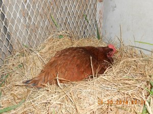 Little red hen; she's really not so little and lays beautiful brown eggs.