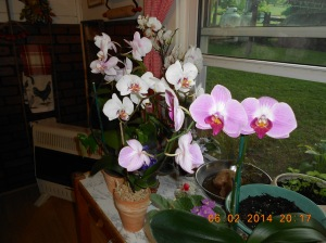 Floridian orchids are much more abundant and less expensive.
