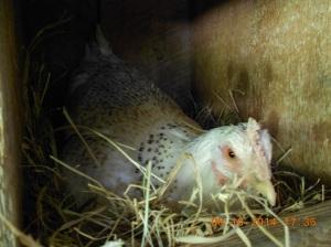 White speckled hen