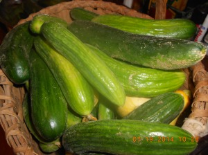 Gorgeous English cucumbers for canning pickles, eating raw, for salads and of course, for friends and family!!