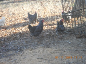 Barred Rocks