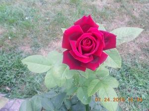 Rose 2014