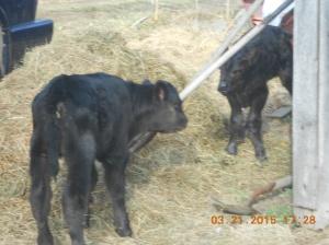 Curious calves.