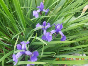 Oriental iris