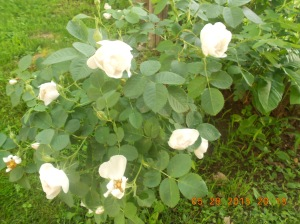 Old fashioned white roses