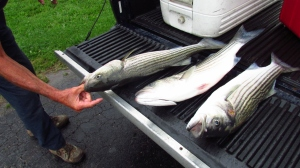 Striper fish, fileted and frozen. I think we froze about 10 packages.