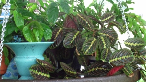 Prayer Plant going crazy!!