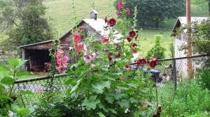Hollyhocks from a girlfriend in Colorado-Thanks Linda!!!