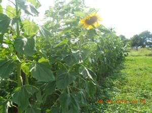 1st sunflowers 2015 (2)