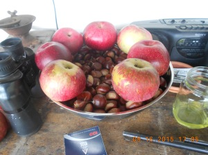 We picked apples and chestnuts yesterday and the deer are really coming after the chestnuts.