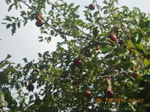 The tree is fairly young and still loaded with apples. Unfortunately one main branch broke off due to the weight.