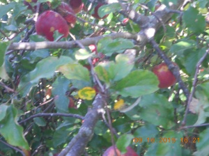 Apple picking 09162015 (4)