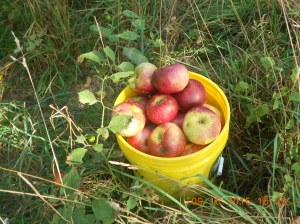 Apple picking 09162015 (6)