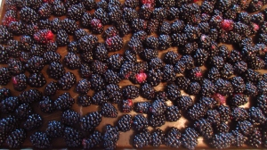 Blackberry crop was excellent and I froze a lot of them.