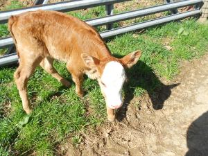 Annabelle was born from a hereford cow born on the farm and she was about 20 years old when she had Annabelle and died the day after Annabelle was born.