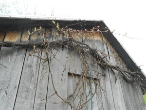 Grapevine on back of woodshed