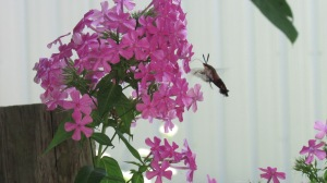 Hummingbird moth stealing nectar (2)