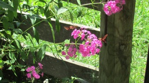 Can you see both of them  on the Tall Phlox?