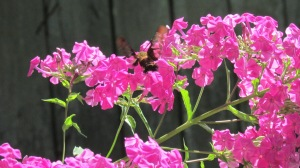 The pink of these flowers and their delicious smell attracts the hummingbird and the hummingbird moth.