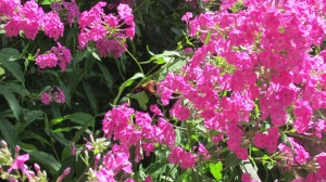 Hummingbird moths on tall flox 082015 (3)