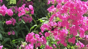 Hummingbird moths on tall flox 082015 (4)