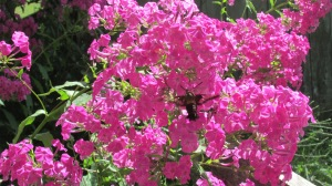 Hummingbird moths on tall flox 082015 (5)