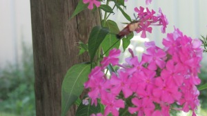 Hummingbird moth sucking out all the nectar from around each petal.