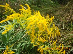 Goldenrod, gorgeous but sure does mess with my nose.