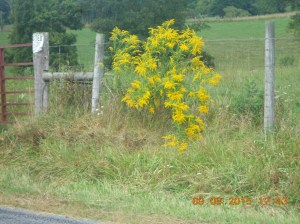 Goldenrod at it's most beautiful.