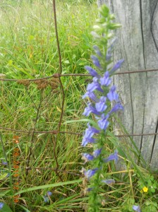 They're not bluebells but the bloom is somewhat shaped like them.