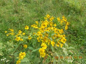 Shaped much like blackeyed susans but different.