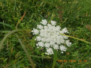 Queen Anne's lace is huge this year and maybe due to all the rain we received spring and summer.