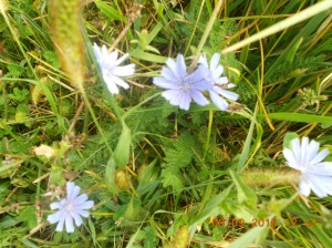 Chicory is popping up everywhere.
