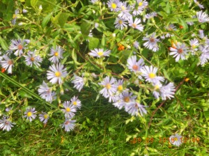 I don't know what this is but most of it is white with yellow centers like a daisy but much smaller and abundance of bloom.  I've also found the same plant but blue with orange centers.