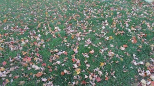 The yard is covered with leaves.