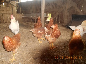 The red with white tell feathers are the new hens and they're laying now.