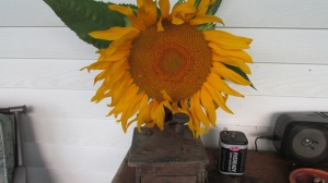 2015 grown sunflowers. I hung about 30 of them and they're just about gone but they were fed mostly to the chickens in the henhouse.