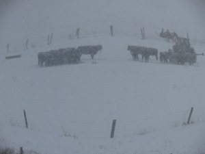 Feeding calves during snowstorm 02152016 (1)