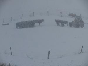 Feeding calves during snowstorm 02152016 (1)