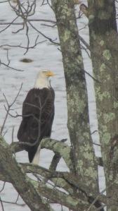 Bald Eagle 02272016 (10)