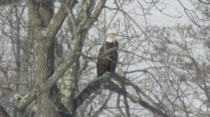 Bald Eagle 02272016 (2)