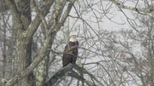 Bald Eagle 02272016 (3)