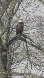 Bald Eagle 02272016 (4)