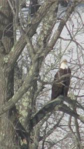 Bald Eagle 02272016 (5)