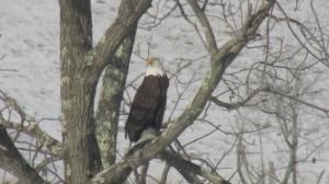 Bald Eagle 02272016 (7)