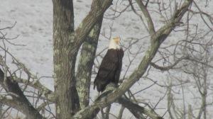 Bald Eagle 02272016 (8)