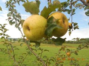 Apple crops