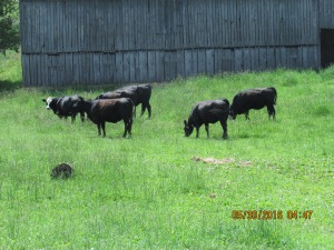 Six of eight heifers born in March & April of 2014.