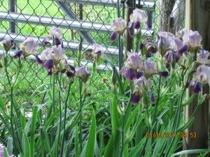 Lavender & purple Iris